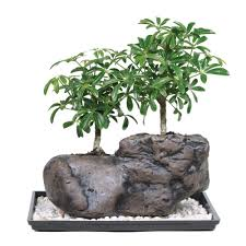 brussel u0027s bonsai dwarf hawaiian umbrella tree on rock bonsai dt