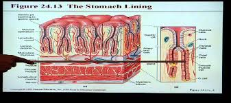 College Anatomy And Physiology Notes Anatomy And Physiology Help Chapter 24 Digestive System Youtube