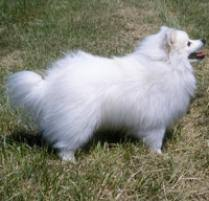 american eskimo dog rescue michigan adopt an american eskimo dog miniature dog breeds petfinder