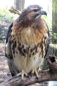 Maryland birds images Wild maryland 101 md birds of prey red tailed hawk buteo JPG
