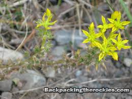 rocky mountain native plants yellow stonecrop sedum wild edible plant in the rocky mountains