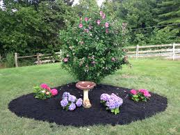 Patio Tree Rose by Best 25 Rose Of Sharon Bush Ideas On Pinterest Rose Of Sharon