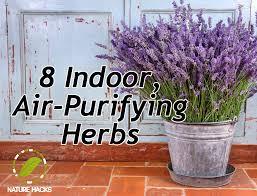 herbs indoors 8 indoor air purifying herbs