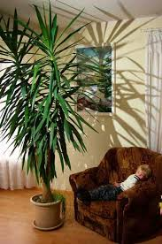plants indoors growing yucca plants care in the home and garden