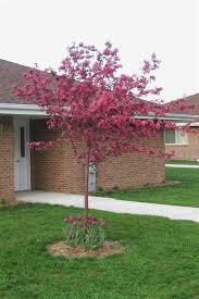 chicago illinois landscaping buy prairifire pink flowering