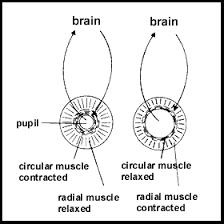 a 2 the human brain sl hl biology