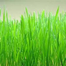 hard red winter wheat seeds 50 lb bulk non gmo organic