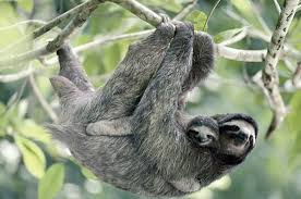 4 toed sloth four facts about sloths boing boing