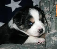 australian shepherd with blue eyes amazing blue eyed tri toy aussie