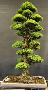 bonsai australian native plants 2115 best bonsai trees images on pinterest bonsai trees plants
