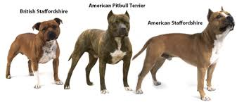 american pitbull terrier in india types of pit bull breeds pets world