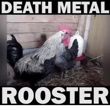 Rooster Meme - 25 best memes about death metal rooster death metal rooster