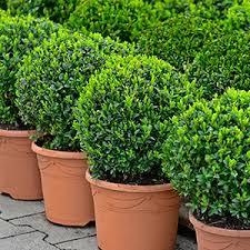 winterharte pflanzen balkon buchsbaum standort pflege schneiden überwintern