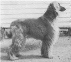 afghan hound breeders victoria afghan hound times interview with barbara skilton of eltazzi
