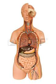 Liver Human Anatomy Liver Stock Photos U0026 Pictures Royalty Free Liver Images And Stock