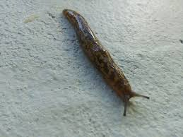 slugs how to get rid of them greenside up