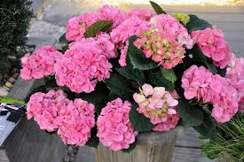 potare le ortensie in vaso ortensia in vaso ortensia ortensia coltivazione in vaso