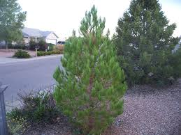 trees that please nursery afghan pine