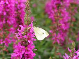 file white butterfly pink flower 2 west virginia forestwander