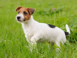 bichon frise jack russell cross temperament the dog breeds that live the longest business insider