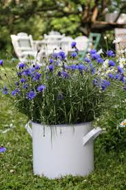 Bachelor Buttons 169 Best Cornflowers Images On Pinterest Blue Flowers Bachelor