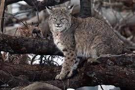 New Hampshire Wildlife images New hampshire mammals wildlife journal junior jpg