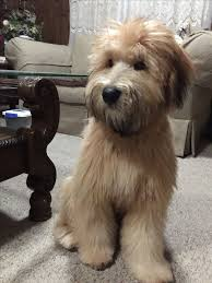 wheaten haircuts 1546 best love my wheaten my obsession images on pinterest