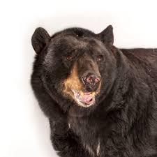 american black bear national geographic
