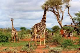 free picture africa zebra animals giraffe tree sky