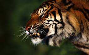 tiger profile google search tigers pinterest tigers and