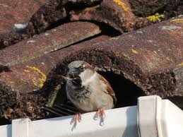 How To Get Rid Of Pigeons On My Roof by Sparrow Problems And Sparrow Control Bird Barrier