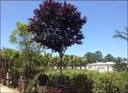 a spec purple leaf plum trees