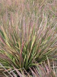 25 best grass images on ornamental grasses garden