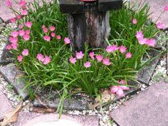 Rain Lily Zephyranthes Candida White Rain Lily Family Liliaceae My