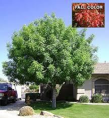 pistacia chinensis pistache non evergreen shade