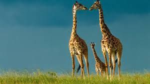 famous hd wallpaper of animal giraffe family