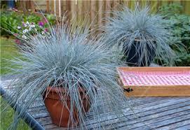 fiber optic ornamental grass all the best grass in 2017