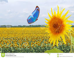 blue butterfly and sunflower stock photo image of blue scratch