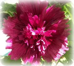 rose blossom legacies july 2011