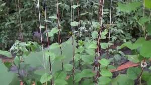 malabar spinach with trellis youtube