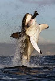 Great White Shark Attack Cape Cod - great white shark beaches in cape cod amazing footage shark