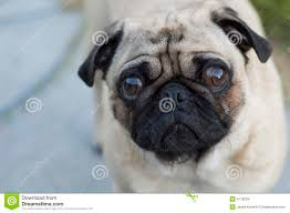 sad pug dog stock images image 4176034