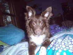 australian shepherd 1 year rupert is a 5 year old golden red merle aussie this guy is