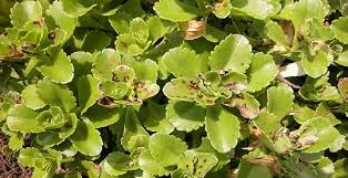 common insects and associated pests attacking bedding plants and