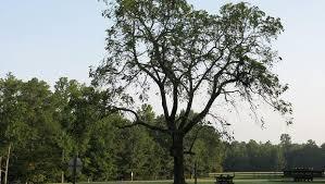 some trees extinction threat cbs news