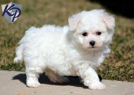 bichon frise in ohio 29 best puppies and kittens images on pinterest pomeranians