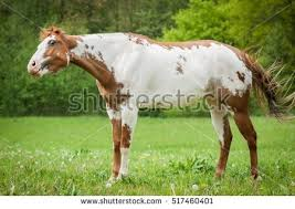 paint horse stock images royalty free images u0026 vectors shutterstock
