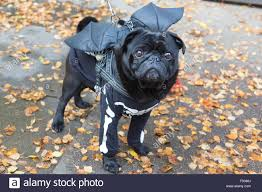 london uk 25th october 2015 pug odin 7 years with a skeleton