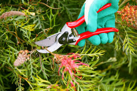 don u0027s tips pruning grevilleas burke u0027s backyard