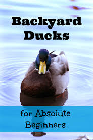 backyard ducks for absolute beginners the cape coop